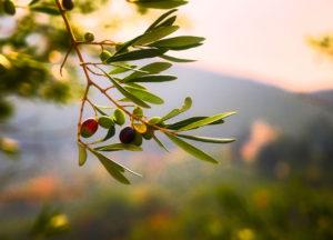 photo d'une branche d'olivier en gros plan avec des fruits à différentes maturités