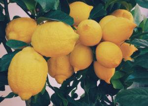 Beaux citrons à une branche de citronnier. c'est l'ingrédient de base du Limoncello