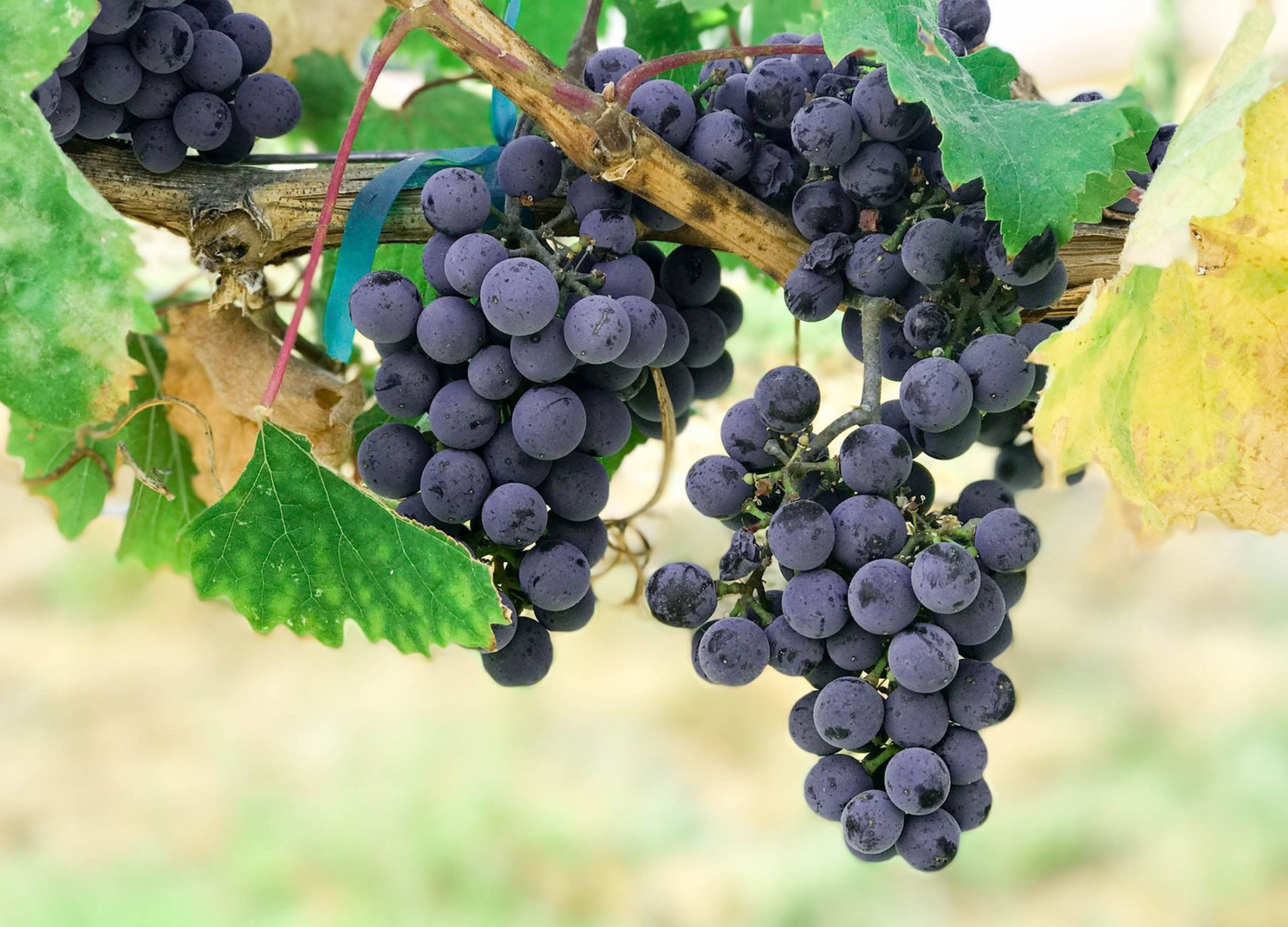 Gros plan sur une vigne avec plusieurs grappes de raisin noir utilisées pour la fabrication des vins italiens